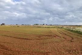 Las lluvias de 'Filomena' salvan el cereal de Formentera