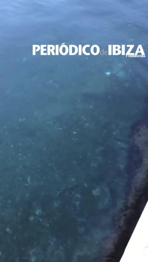 El puerto de la Savina recibe la visita de un tiburón