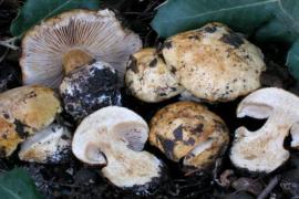 Se inyecta un té de hongos alucinógenos, desarrolla una infección y le crecen hongos en las venas