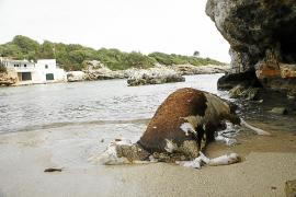 Barcos de transporte de ganado lanzan sus animales muertos al Mar Balear