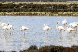 Más de 17.000 aves en el censo invernal de los espacios naturales protegidos de Baleares
