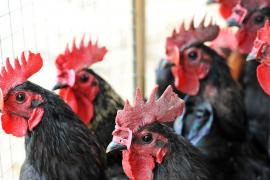 Por qué las gallinas ponen un huevo cada día