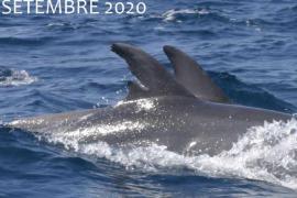 Identifican a un delfín que vive desde hace más de 10 años en aguas de Ibiza