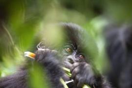 Turistas podrían estar propagando el COVID-19 a gorilas por culpa de los selfies sin mascarilla