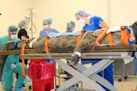 Un cocodrilo tiene que ser sometido a una cirugía para sacarle un zapato del estómago