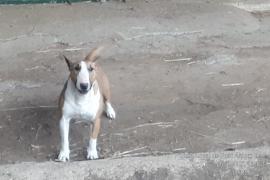 Denunciado el dueño de un perro peligroso que irrumpió en una finca de cabras y gallinas en Sant Antoni