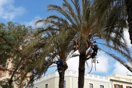 Vila inicia la poda y el tratamiento contra el picudo rojo de 620 palmeras
