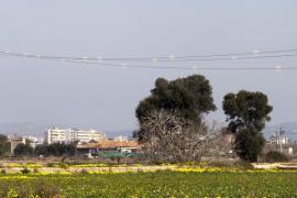 Seis flamencos muertos en Ses Salines al impactar contra los tendidos aéreos