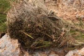 Formentera echa mano de los cazadores para eliminar las orugas del pino