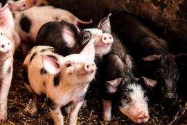 El cierre de la restauración deja en jaque a los criadores de 'porcelles' y corderos