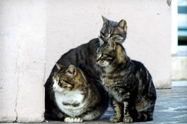 El GEN-GOB y Amics de la Terra celebran las medidas de Sant Josep para controlar los gatos