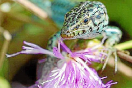 Un estudio alerta de la posible extinción de la lagartija en Ibiza en el año 2030