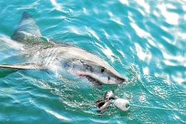 Fundraising para la protección de los tiburones del Mediterráneo