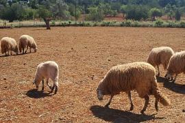Veterinarios piden responsabilidad a propietarios de perros que atacan a rebaños