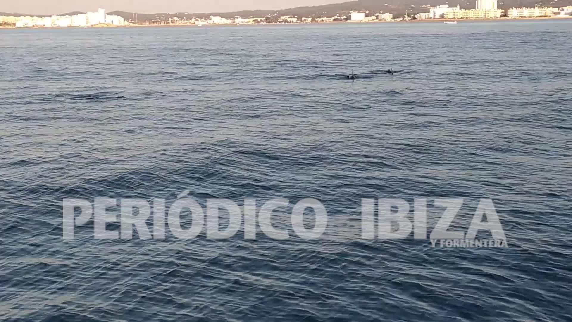 Un grupo de delfines se deja ver por Sant Antoni