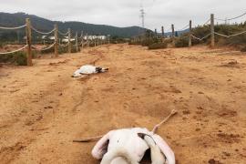 Hallados dos flamencos muertos en Ses Salines al impactar contra los tendidos aéreos