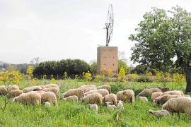 Los ataques de perros merman la población de ovejas en Ibiza