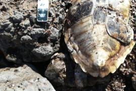 Aparece una tortuga muerta en Platja d'en Bossa