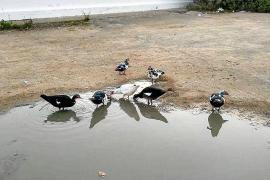 Denuncian el abandono de patos en un solar de Platja d'en Bossa