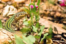 La extinción de la 'sargantana' pondría en peligro a plantas endémicas de Ibiza