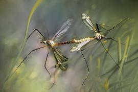 Formentera comienza el control biológico de mosquitos en las zonas húmedas de ses Salines