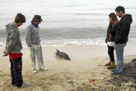 Rescatada una cría de delfín varada en Mallorca