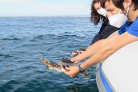 Vuelven juntas al mar las tortugas hermanas nacidas en Ibiza y rescatadas en Valencia