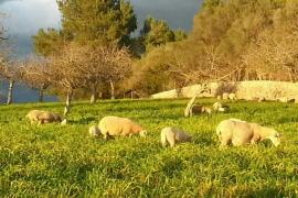 Ovejas pastando en Mallorca