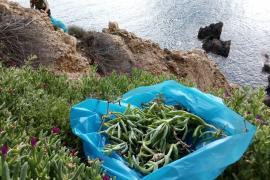 Reservas Naturales retira más de 200 kg de una planta invasora en s'Illa des Bosc
