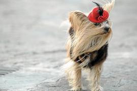 Un pequeño perro vestido con abrigo de visón fue la estrella de la bendición de animales que se realiza todos los años en Sant Antoni
