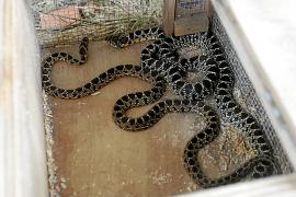 Transición Ecológica se compromete a controlar la entrada de serpientes en Ibiza y Formentera