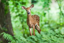 La Guardia Civil salva a un 'Bambi' que querían convertir en mascota