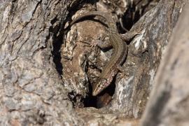 El GOB alerta de la «dramática extinción» de la lagartija pitiusa por la «inexistente» política de defensa ambiental