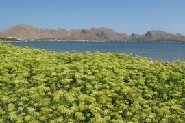 Hinojo marino en la Bahía de Pollença