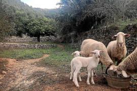 El PP insta a Agricultura a agilizar medidas para evitar la propagación de la «lengua azul» en Baleares