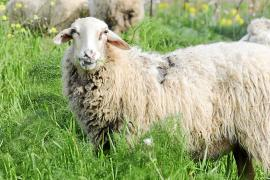 Formentera recuerda la ordenanza de tenencia de animales de compañía para evitar ataques al ganado