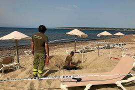 Una tortuga intenta desovar sin éxito en Formentera