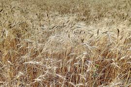 Se incrementa en un 140% la siembra de trigo 'xeixa' con 48 hectáreas cultivadas