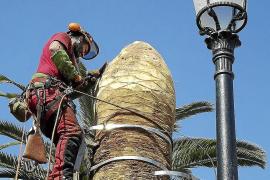 El Consell tuvo que destruir casi 800 palmeras afectadas por el picudo rojo