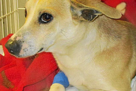 Encontrado en Sant Josep un pequeño perro con una herida de bala en su parte trasera
