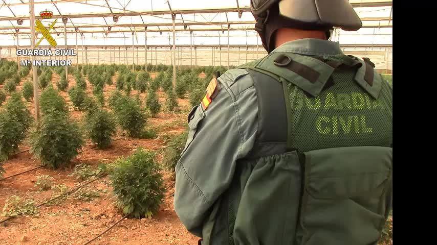 Cinco detenidos y 4.500 plantas de marihuana intervenidas en una finca de Mallorca