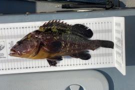 Denuncian la pesca de meros por debajo de la talla en Formentera