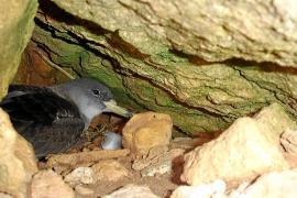 Más de diez parejas de pardela balear nidifican en el islote de es Vedranell