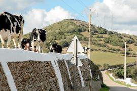 Desesperación en el sector lácteo de Menorca