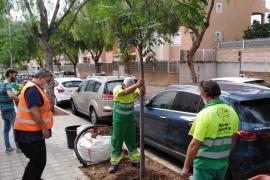 Cort plantará 1.835 árboles en las calles de Palma