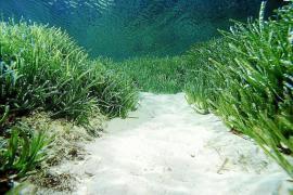 Posidonia oceánica: «La política me mata»