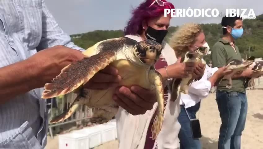 Liberadas en Ses Salines quince tortugas marinas nacidas en Ibiza hace un año