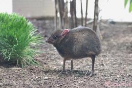 Nace una cría de ciervo ratón en Málaga