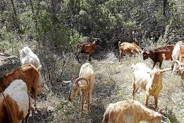 Cabras para prevenir el fuego en Santa Eulària