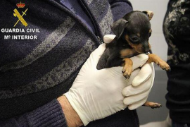 Incautados 180 cachorros introducidos ilegalmente en España